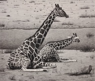 Giraffes – Cow and Calf